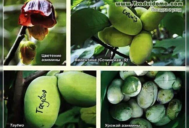 Сочинская 11 - сорт растения Азимина