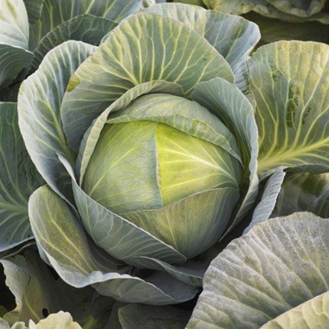 Один из лучших сортов для промышленного выращивания — капуста Экстра F1: отзывы и описание