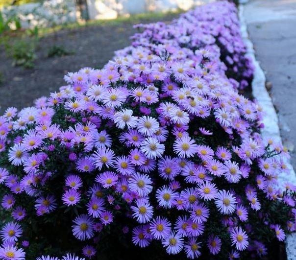 Сентябринка (Астра виргинская): как посадить и ухаживать