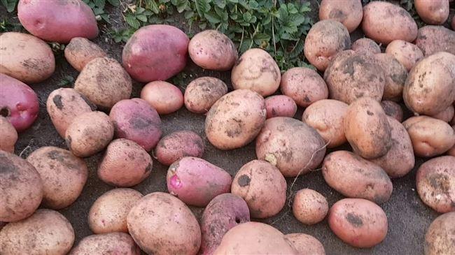 Картофель Хозяюшка — характеристика и правила выращивания сорта