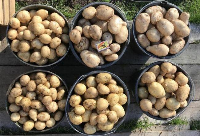 Описание картошки «Чародей» — что это за сорт, показатели урожайности