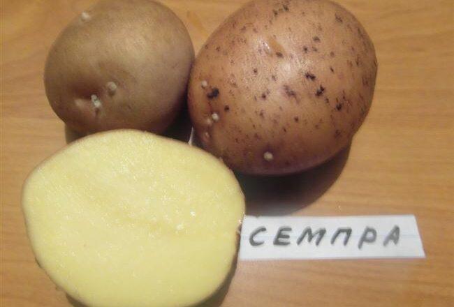 Картофель Югана: описание сорта, фото и отзывы, характеристика