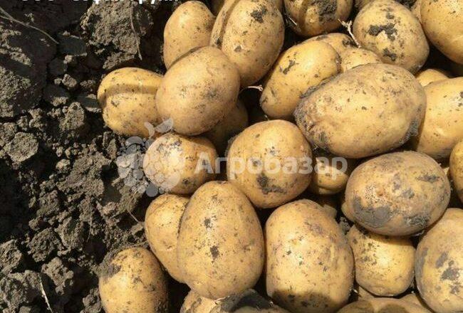 Ярла - сорт растения Картофель