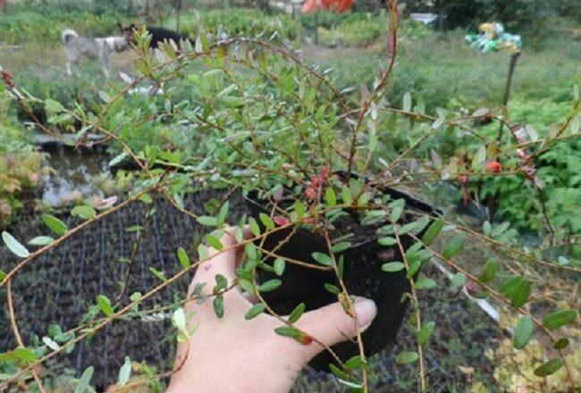 Выращивание клюквы на приусадебном участке