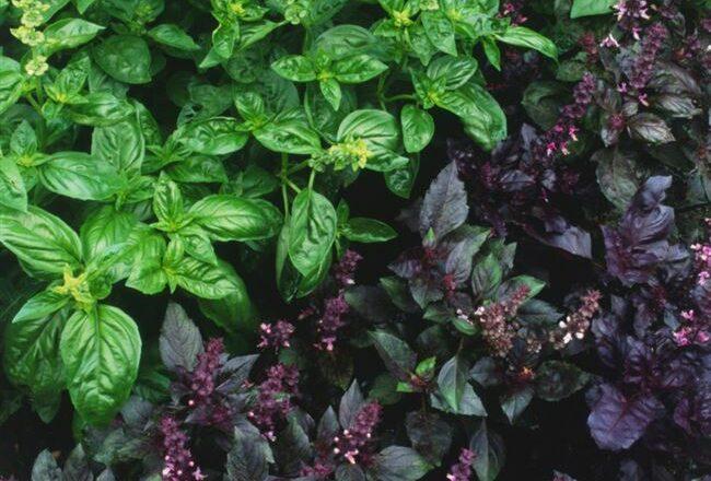 Фиолетовая пряность — базилик Арарат. Описание растения, особенности выращивания и ухода, фото