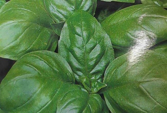 Базилик зеленый лучшие сорта
