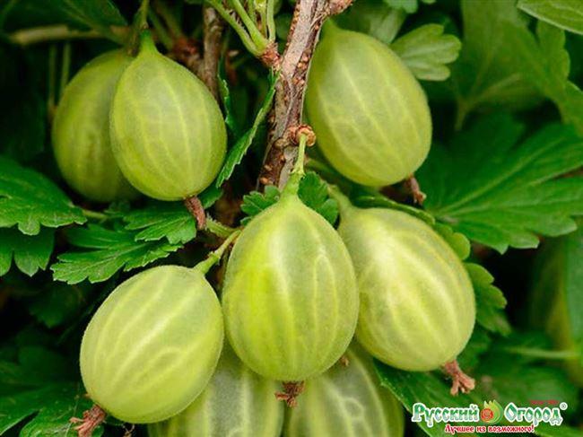 Вкусный, крупный и богатый на урожай сорт крыжовника «Уральский виноград»