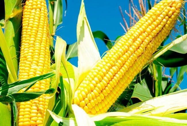 Райзинг Сан - сорт растения Кукуруза сахарная