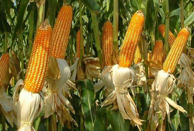 Скап 201 - сорт растения Кукуруза