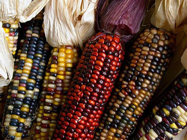 Выбираем какой сорт кукурузы посадить у себя на участке