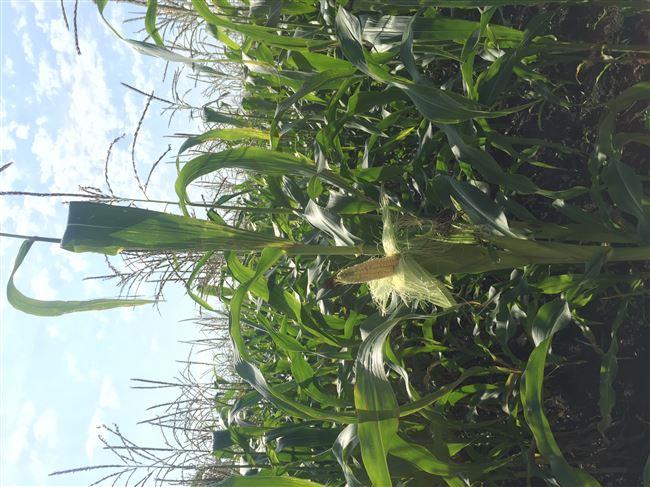 Семена кукурузы сорт Уральский 150 (ФАО 150)