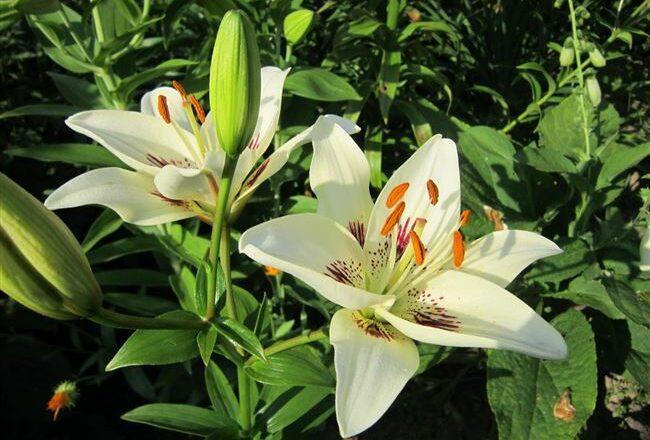 Находка - сорт растения Лилия
