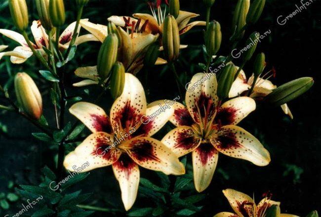 Новые лилии: сорта XXI века