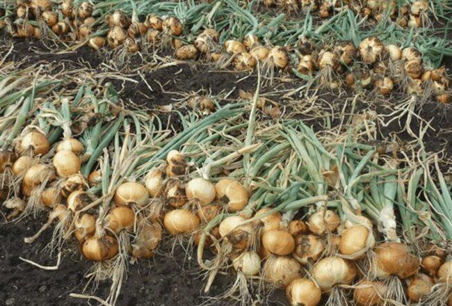 Лук Штутгартер: описание, правила ухода и посадки, сбор урожая