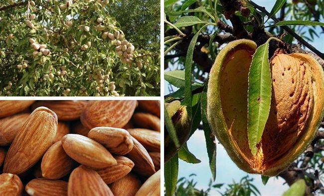 Скороплодный миндаль Никитский 62 — описание и особенности выращивания этого плодового сорта