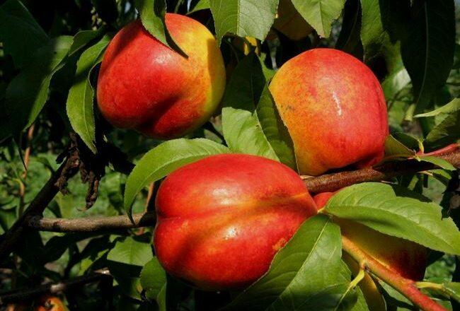 Саженцы персика Крымчанин (сорт нектаринов)