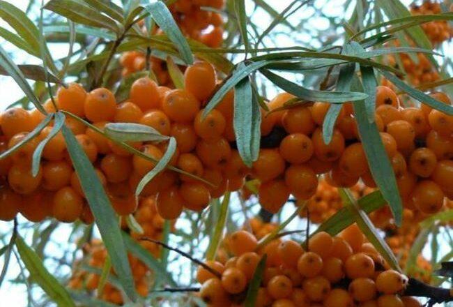 Облепиха Ботаническая — описание сорта, фото и отзывы садоводов