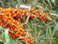 Лисичка - сорт растения Облепиха