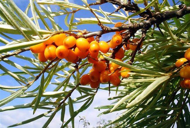 Отрадная - сорт растения Облепиха