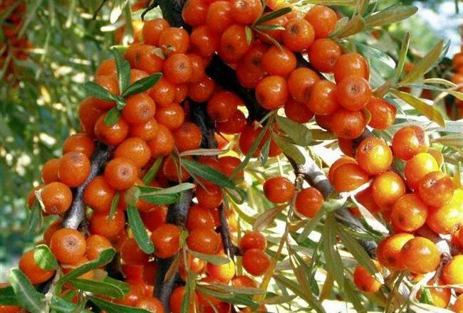 Облепиха Подарок Саду — описание сорта, фото и отзывы садоводов