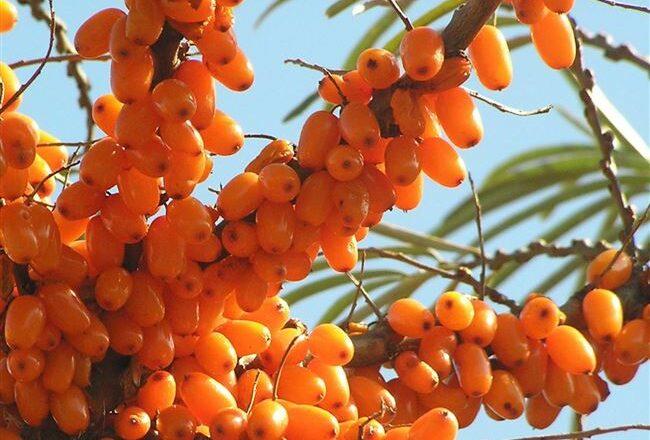 Солнечная - сорт растения Облепиха