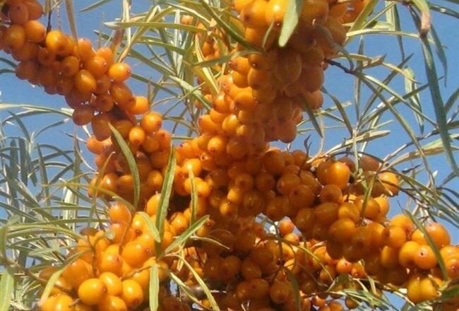 Триумф - сорт растения Облепиха