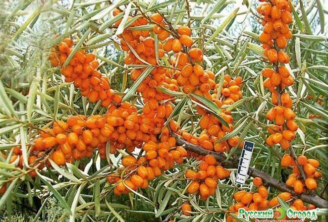 Облепиха сорта Чуйская: особенности выращивания и уход