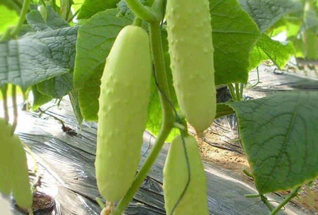 Белая Ночь - сорт растения Огурец