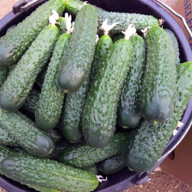 Сорт огурцов Бонус f1 – партенокарпическая гибридная разновидность со вкусными и красивыми плодами
