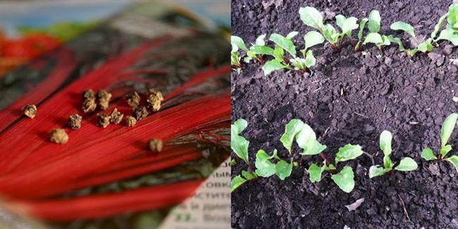 Размножение растения семенами. Получение рассады