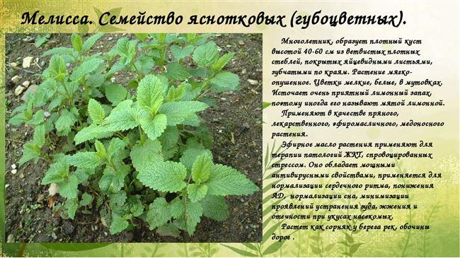 Ботаническое описание мелиссы