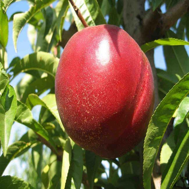 Характеристика персика Рубиновый-4