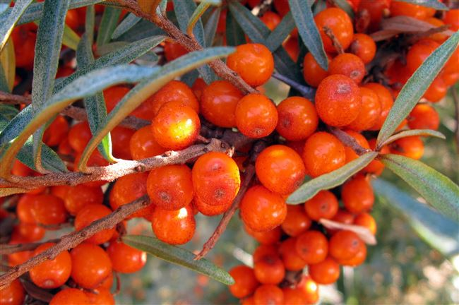 Плодовая гниль – болезни ягод облепихи