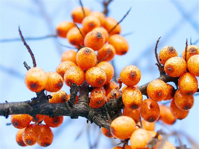 Сохранение и употребление ягод облепихи