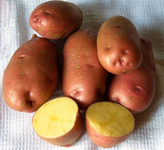 Описание картофеля Азарт и его основные характеристики
