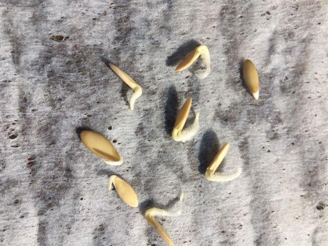 Обработка и проращивание семечек