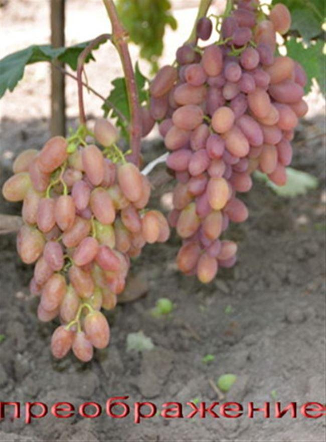 Описание сорта винограда Преображение. Фото, видео, отзывы.