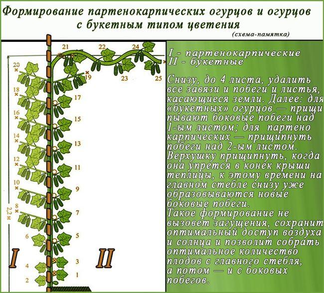 Подвязка и формирование кустов