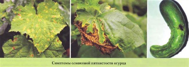 Опасное заболевание огурцов Кладоспориоз