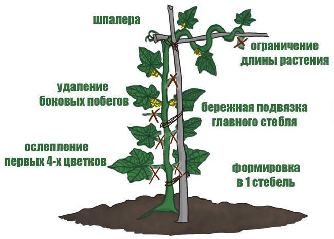 Подвязка и формирование