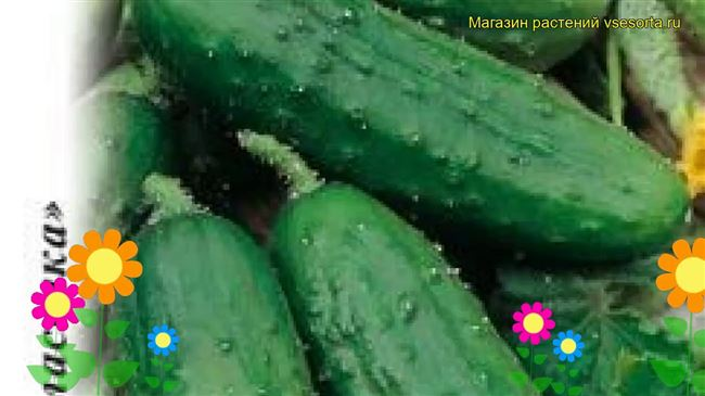 Описание сорта огурцов Ира, особенности выращивания и ухода