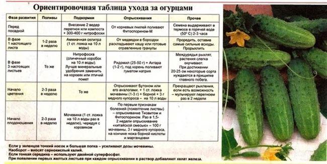 Условия, необходимые для выращивания огурцов