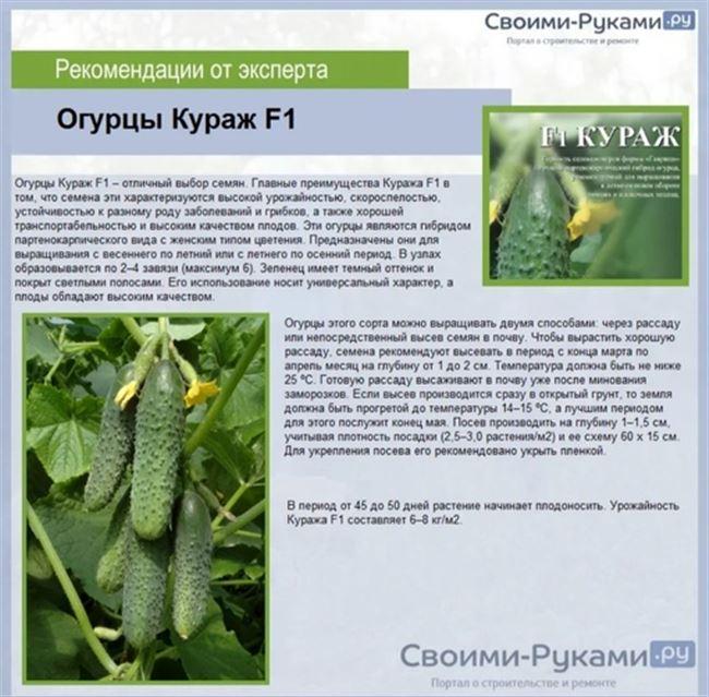 Огурец Кураж F1 – описание сорта, отзывы, фото, посадка и выращивание