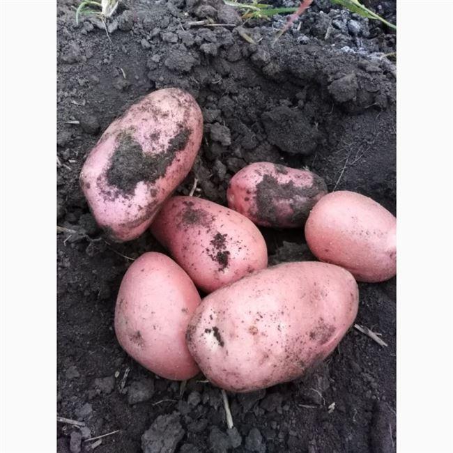 Готовим почву и участок для картофеля Лабелла