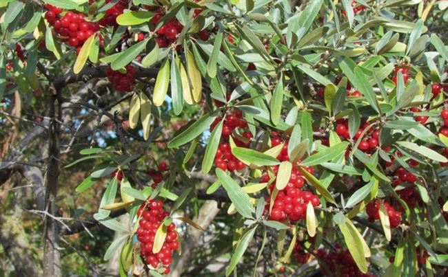 Шефердия – выращивание, посадка, размножение и уход