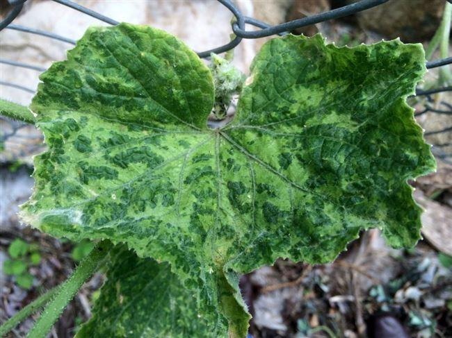 Мозаичные болезни огурцов и как с ними бороться