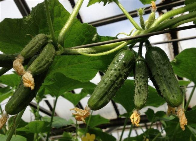 Выращивание и уход за пучковыми огурцами