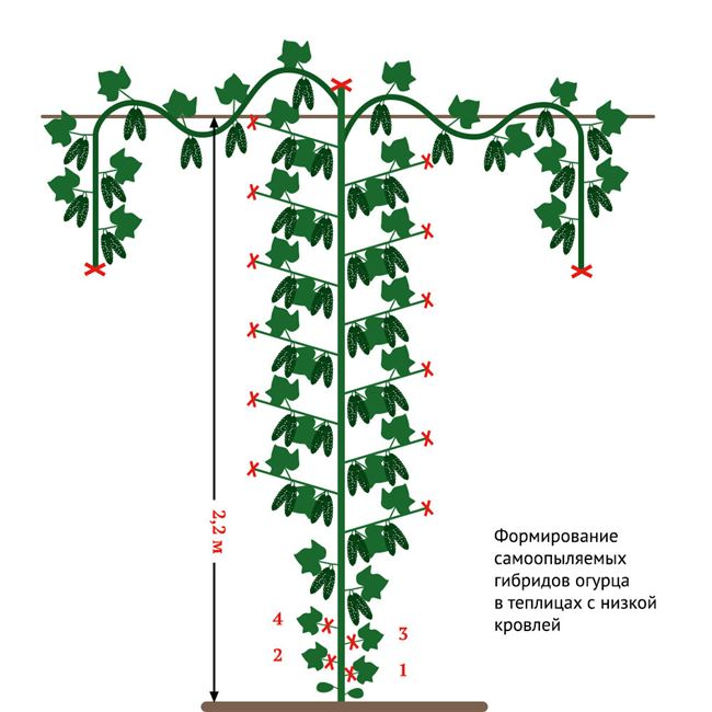 Подвязывание и формирование кустов
