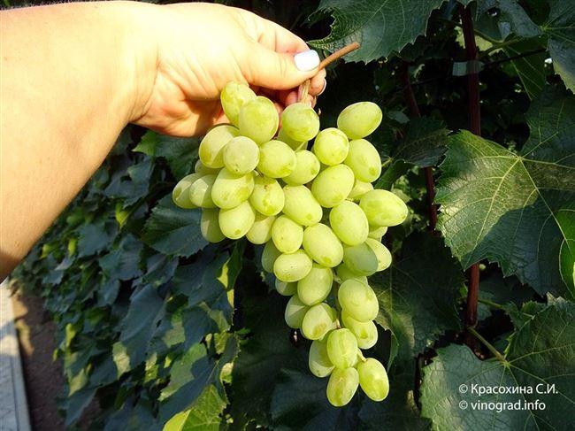 Отзывы садоводов о винограде Гарольд