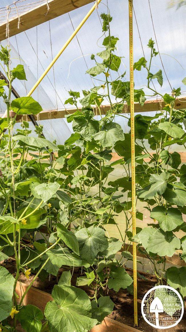 Выращивание огурцов Шоша в открытом грунте и в теплице